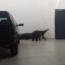 Morador de Perdões é surpreendido por um tamanduá dentro da garagem de casa